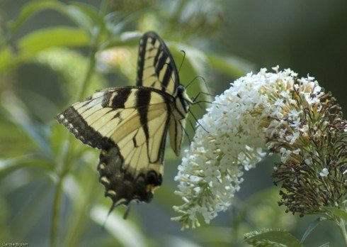 Butterfly Bush is Invasive Do NOT Plant
