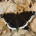Mourning Cloak First Butterfly of the Season
