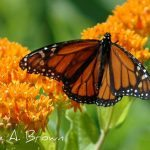 Monarch Butterfly Wintering Population at All Time Low