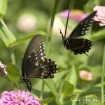 What Did Black Swallowtails Eat Before we Brought In Parsley, Dill, and Queen Anne's Lace?