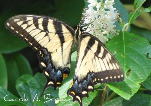 Tiger Swallowtails in the Wildlife Garden
