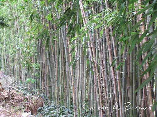 Most Hated Plants: Bamboo