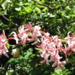 Native Plant Bloom Day: Flame Azalea