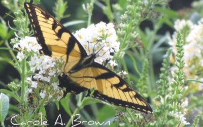 Why Are There So Many Tiger Swallowtails this Year?