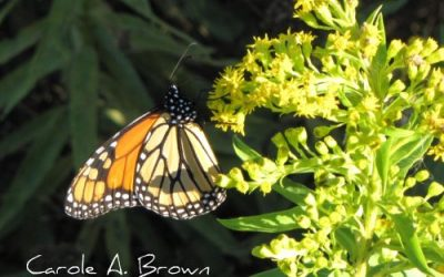 The Monarch Monitoring Project