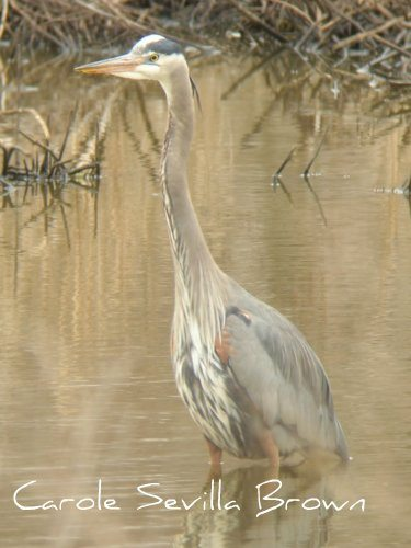 The Beautiful Herons