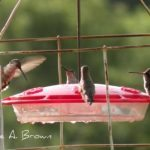 Hummingbirds Reach Northern Virginia
