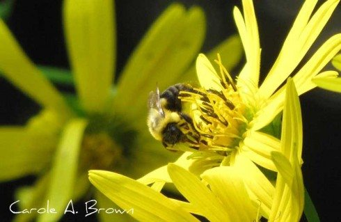 Pollinator Conservation in Your Ecosystem Garden