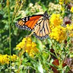 Restoring the Monarch Butterfly