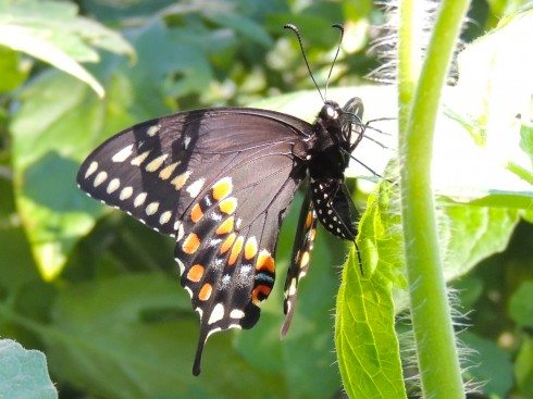 Black Swallowtail Butterflies and Caterpillars