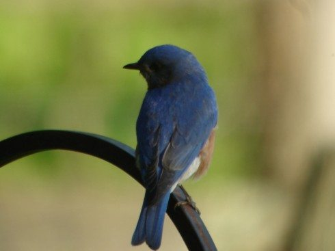 Bluebirds in the Wildlife Garden