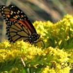 Do Monarch Caterpillars Eat Anything Besides Milkweed