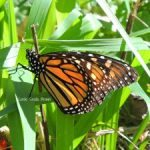 Saving the Monarch Butterfly