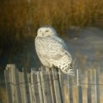 Why So Many Snowy Owls This Year?