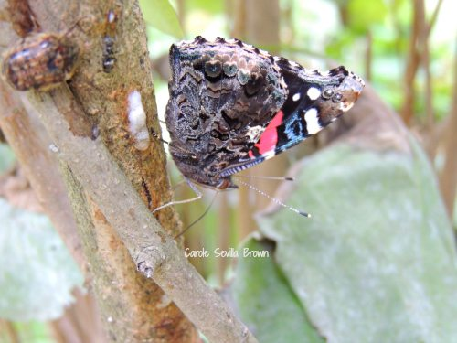 Red Admiral Butterfly Sipping From Sap Flow