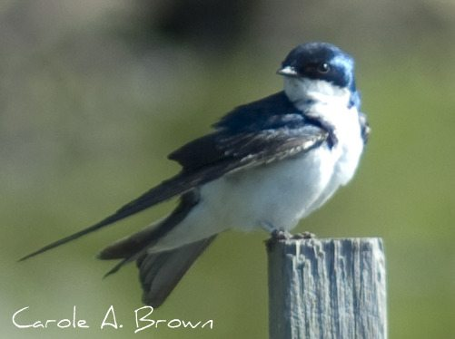 Tree Swallows Return