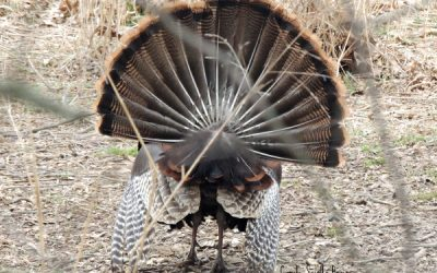 The Wild Turkey So Much More Than Thanksgiving Dinner