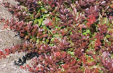 Japanese Barberry: A Threat to Public Health