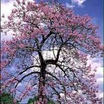 "Paulownia (Princess Tree) on ""Most Hated Plants"" List"