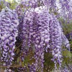 Chinese Wisteria: Most Hated Invasive Plants