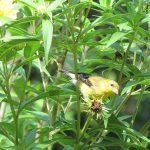 Goldfinch Eating Heliantus Seeds