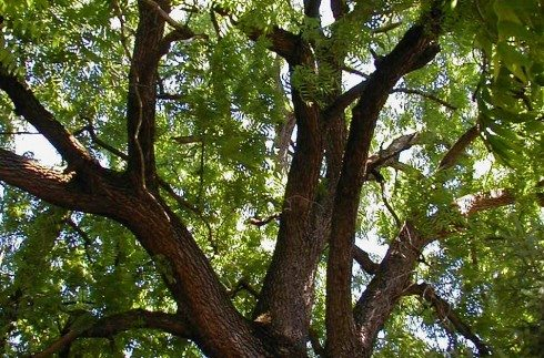 What to Plant Under Black Walnut Trees